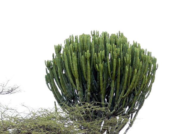 法國老嫗被摩洛哥巨型多肉植物壓死