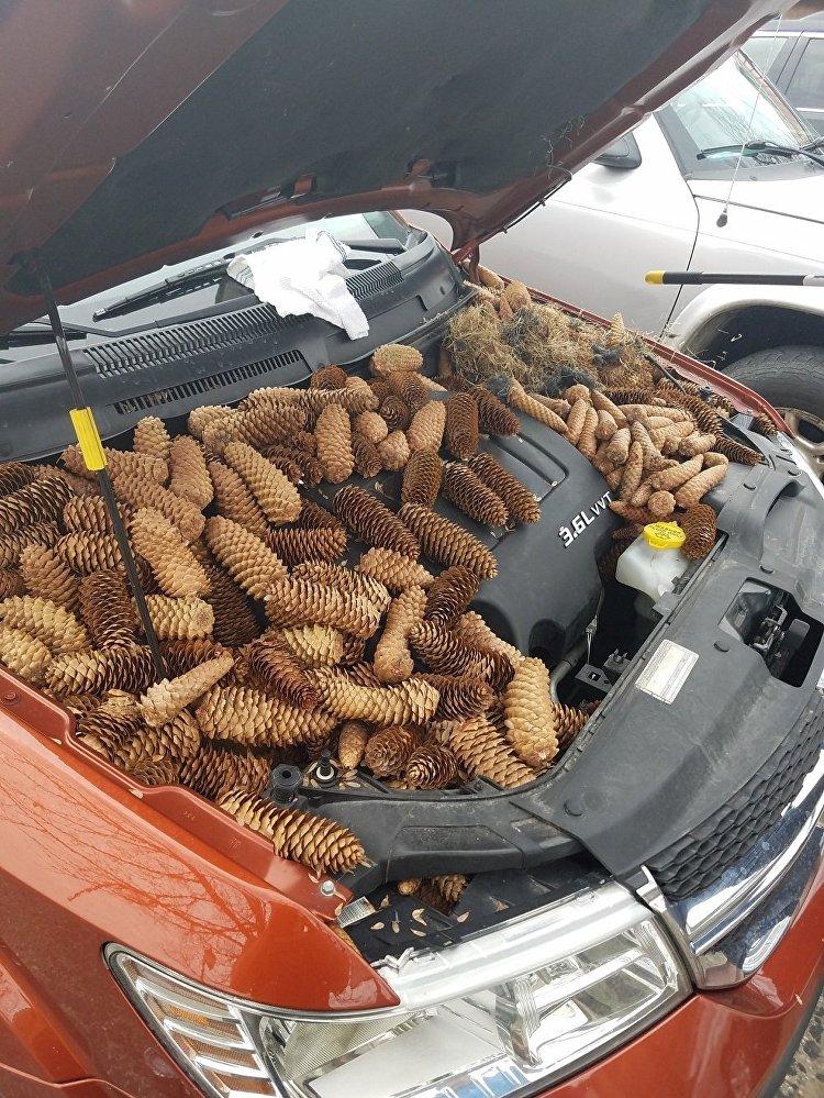 松鼠將20多公斤松果藏在汽車引擎蓋下