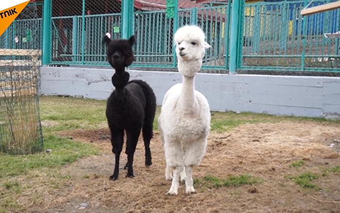 俄羅斯兩只羊駝剃毛迎世界杯
