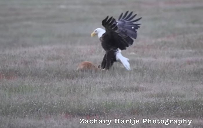 視頻拍到白頭鷹和狐狸搶食