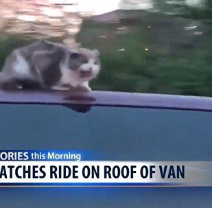 美国有人拍下猫咪趴在高速公路上行驶的骑车车顶上