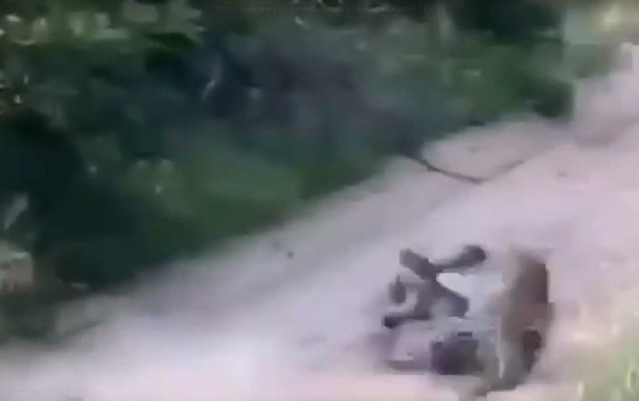 两只豹子打斗的场面被拍下