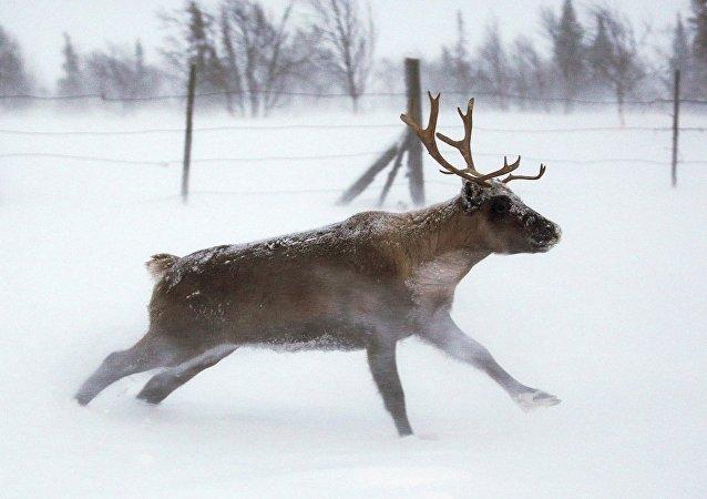赫尔辛基警方射杀两头闯入市中心的白尾鹿