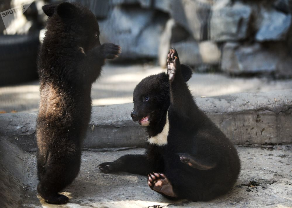 新西伯利亚动物园兽栏里的小亚洲黑熊