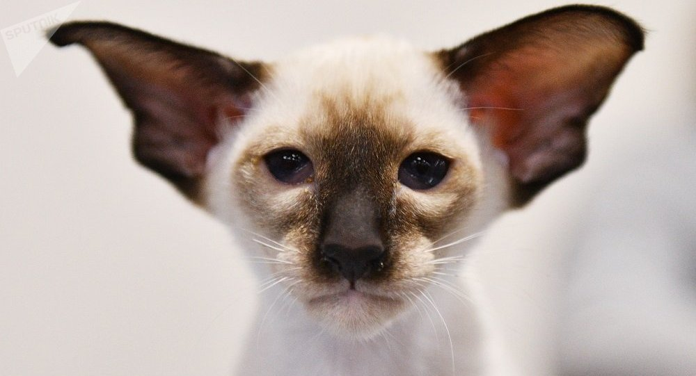 一莫斯科居民打死一只暹罗猫,已追究刑事责任——内务部