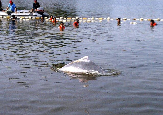 在泰國一隻海豚因吞下80個塑料袋死亡