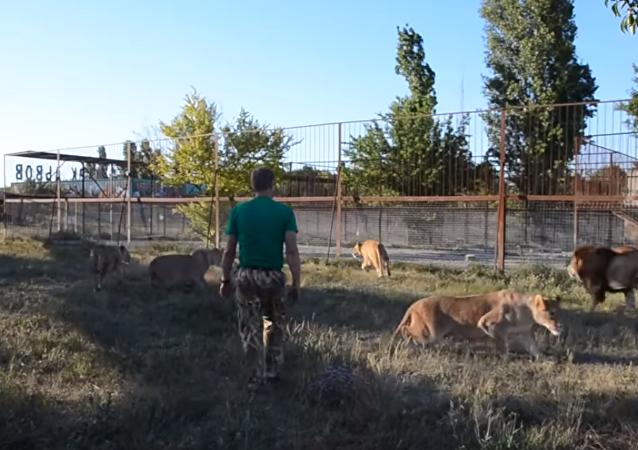 克里米亚野生动物园园长用拖鞋赶狮子
