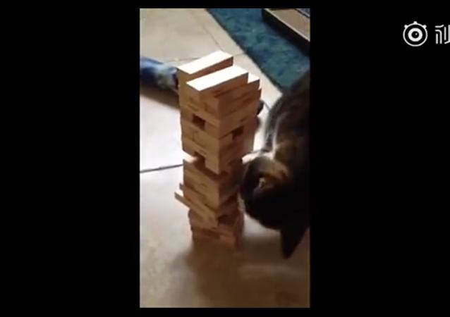 主人跟貓咪玩疊疊樂抽積木的小遊戲