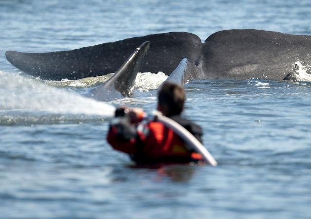 日本重启商业捕鲸不会减少鲸鱼数量