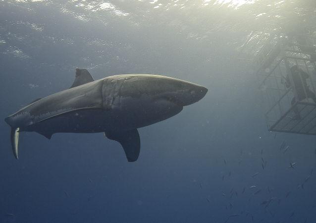 美国钓鱼运动员路遇一条大白鲨