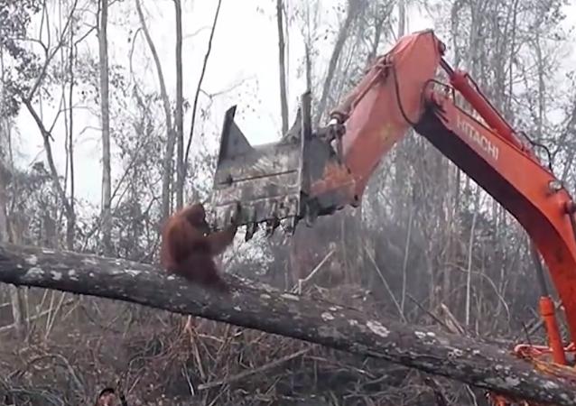 视频拍到猩猩为保护家园试图阻止挖掘机伐林