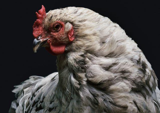 鸡可生产有医学价值的蛋白