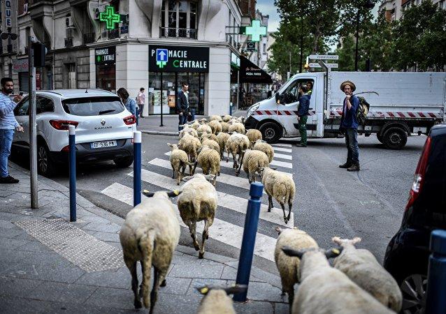 巴黎郊区被绵羊占领