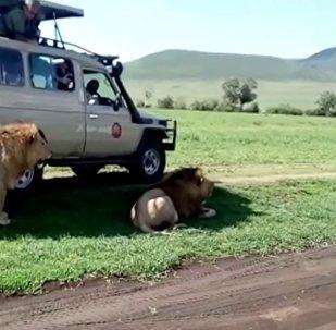 游客决定抚摸狮子,却差点成了它的盘中餐
