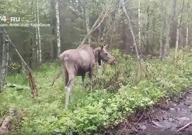 """""""驼鹿导游""""在俄车里雅宾斯克上线"""