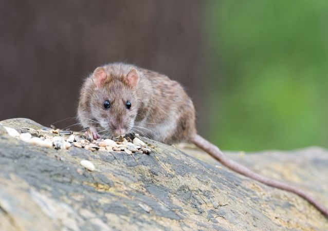 俄专家:没有证据表明啮齿动物新的冠状病毒能引发人类患病