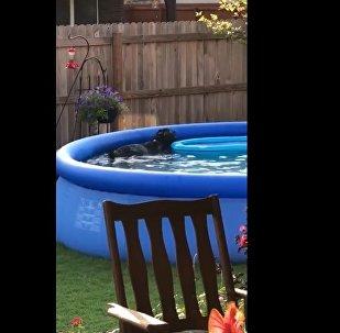 雪纳瑞狗偷偷在泳池游泳