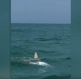 游客实拍锤头鲨追捕大海鲢