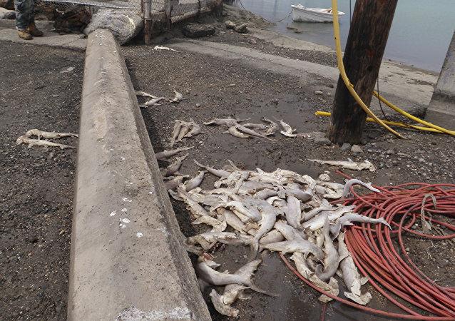 上百只幼鲨横尸夏威夷海滩