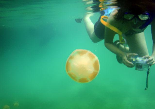 潜水员遭遇和人一样大的巨型水母