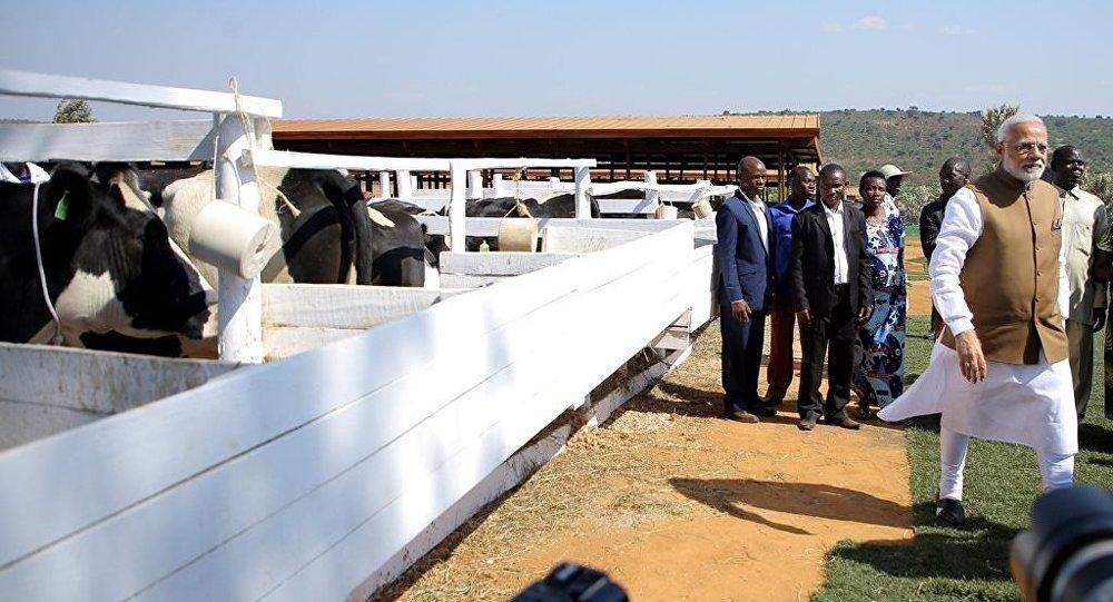 印度总理向卢旺达赠送200头奶牛