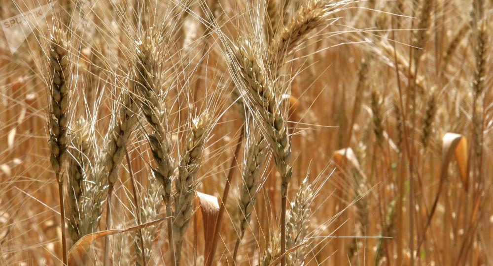 俄罗斯向朝鲜提供2000多吨小麦的人道主义援助