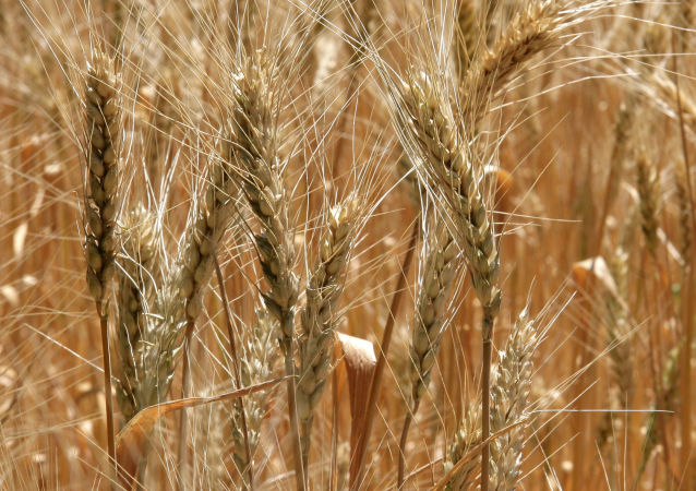 俄将在叙建立中东最大俄小麦出口枢纽