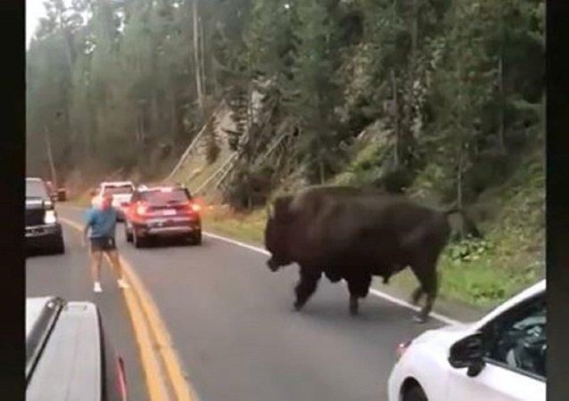 美国醉汉挑衅野牛