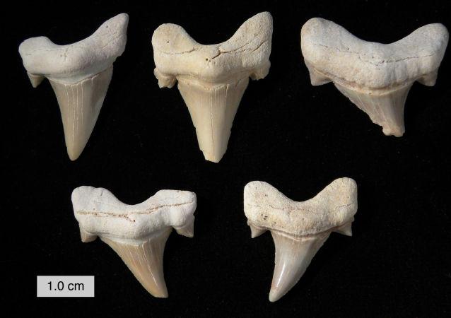 澳大利亚海滩现史前巨鲨牙齿