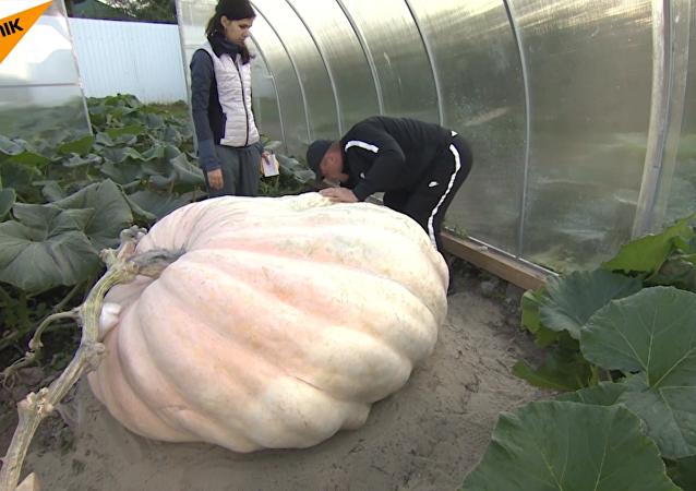 莫斯科郊区农民种出500公斤大南瓜