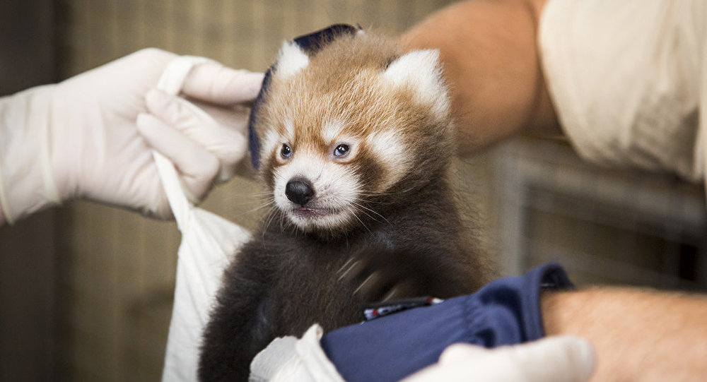 红熊猫幼崽在赫尔辛基动物园出生