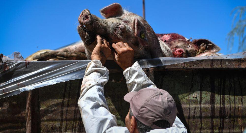 中国因非洲猪瘟宰杀愈91.5万头猪