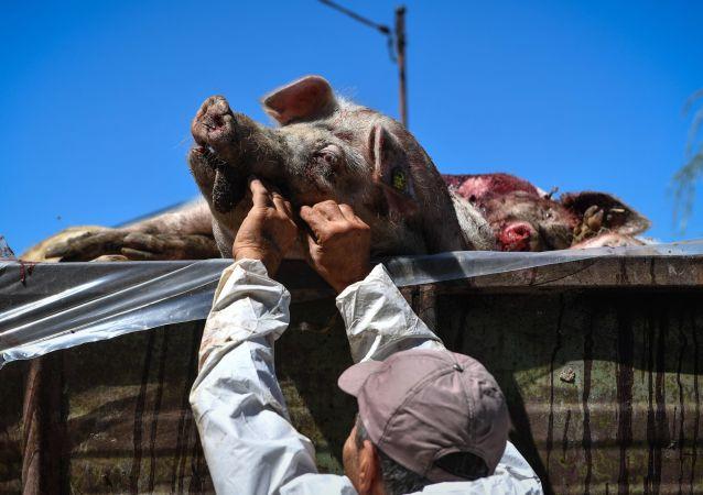 非洲猪瘟病毒首次在俄滨海边疆区十月区得到确认