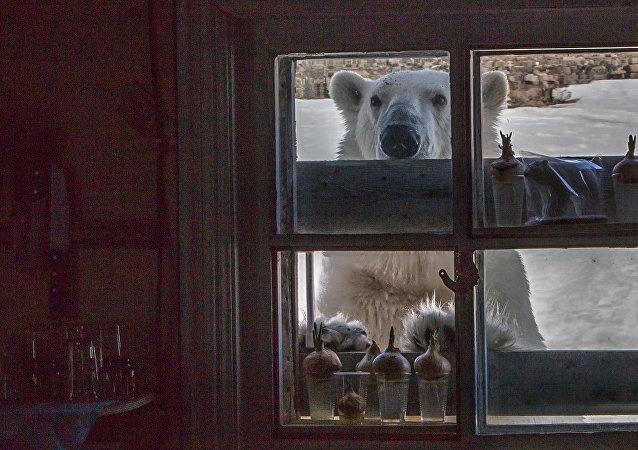 WWF解释北极熊在楚科奇小镇聚集附近的原因