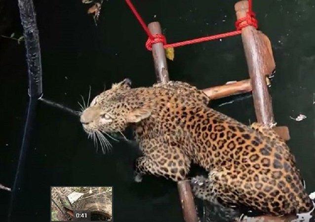 印度人救出了一只掉进深井的豹子