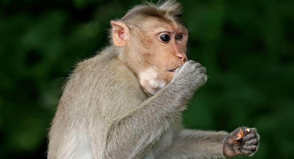 斯里兰卡猴子扔下椰子砸死老妇人