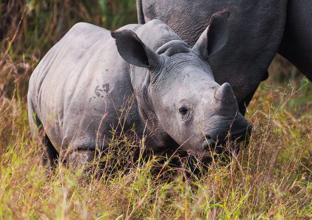 中国废止虎骨和犀牛角贸易禁令引WWF反对