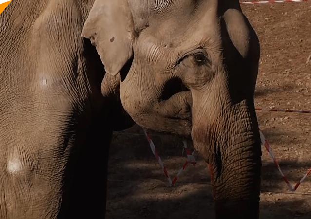 大象做拔牙手术