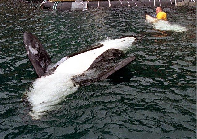 虎鲸被限制在围栏中