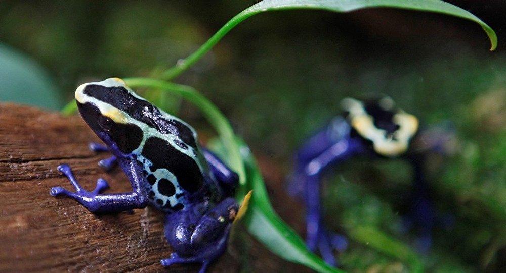 数百只运往欧洲的罕见青蛙在哥伦比亚被没收