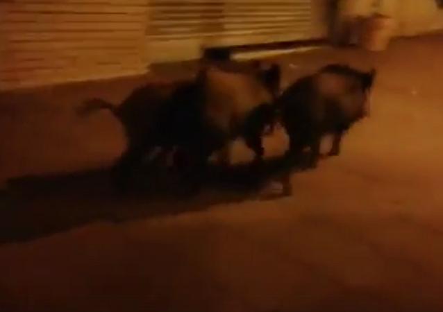巴塞罗那市中心现野猪闲逛