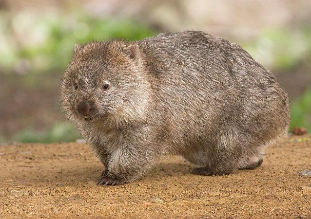澳政府呼吁游客少与袋熊自拍