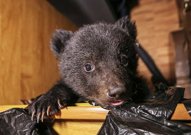 俄滨海边疆区动物康复中心又收治两只虚弱的熊幼崽
