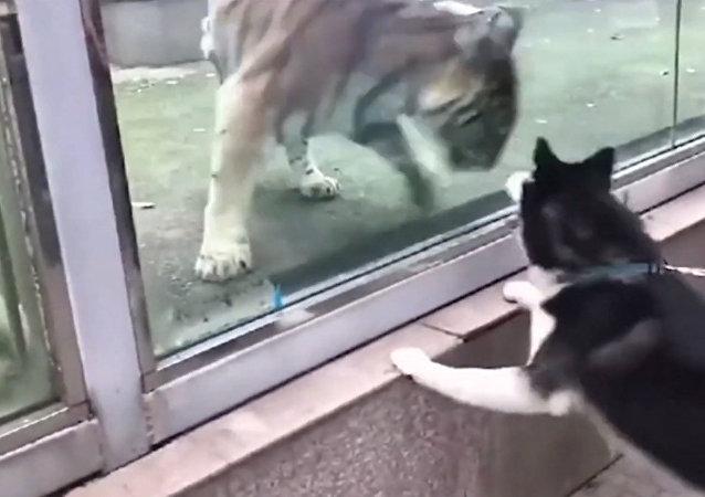 视频抓拍:狗追虎在中国动物园上演