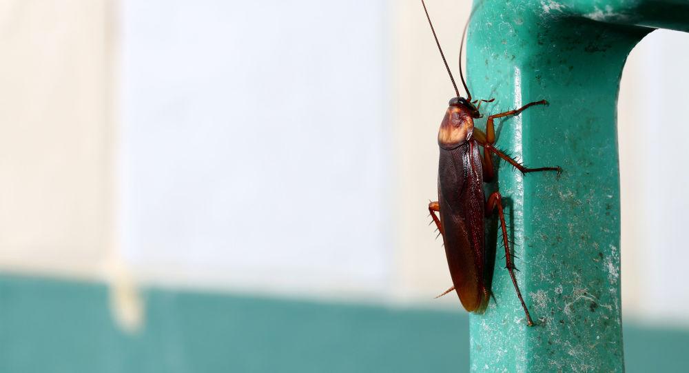 媒体:中国借助蟑螂处理垃圾问题