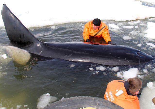 Операция по спасению косаток, зажатых во льдах в Охотском море