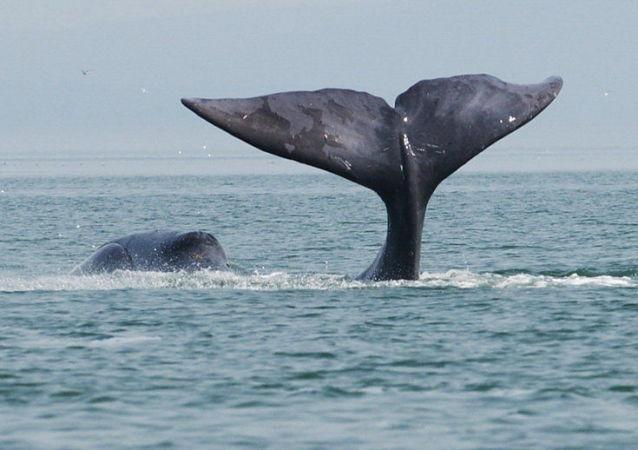 日本批准在年底前捕捞227头鲸鱼