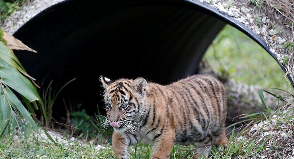 印度尼西亚动物园诞生苏门答腊虎宝宝