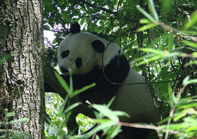 克宫:普京和习近平将参观莫斯科动物园并出席大熊猫交接仪式