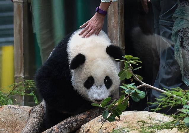 """马哈蒂尔仍是中马""""熊猫外交""""的支持者"""